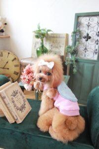 ピンクの秋服を着たトイプードル